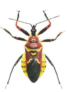 Apiomerus flaviventris