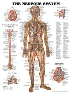 Плакат нервной системы | АМБУ