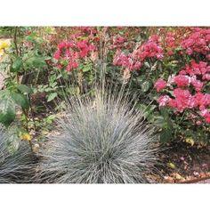 BLÅSVINGEL gräs 10-PACK (Festuca glauca 'Eliah Blue') Tuvbildande med smala, sträva, blågrå blad. Blommar i juni-juli. Trivs i näringsfattig och väldränerad jord. Höjd 15 cm, med blommor 30 cm. Tål en del skugga. Ska ej beskäras, plocka bort torra strå på våren. SOL-HSK.