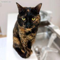 てっちゃんの耳の大きさと角度は、 . ドロンジョ様風 . #japanesecats #cat #さびねこ #サビ猫 #さび猫