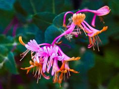 Fantasy Flowers by Omaste Witkowski owFotografik.com This is a Macro photograph of a honeysuckle flower. I love the abstract look that reminds me of some kind of floppy eared creature. Or a very colorful bird? I took this picture in early spring in Winthrop Wa (Washington State), in the beautiful Methow Valley. The Methow is a small jewel of an area not too far from Seattle in the Pacific Northwest. Okanogan County is such a great place to live for all of the sunshine and outdoors…