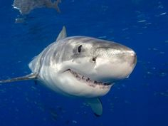 Shark Posters and Photographic Prints - posters-n-prints.com - Great White Shark (Carcharodon Carcharias), Guadalupe Island, Mexico