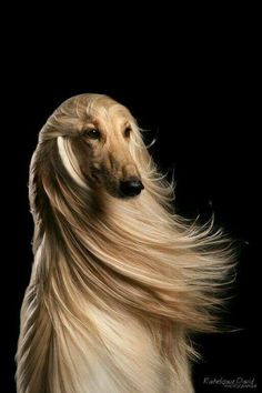 Best images, photos and pictures ideas about afghan hound dog - oldest dog breeds Beautiful Dogs, Animals Beautiful, Cute Animals, Simply Beautiful, Pet Dogs, Dogs And Puppies, Dog Cat, Doggies, Dog Photos