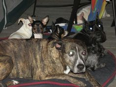 Normally seeing a Pit Bull with Chihuahua puppies makes me a little nervous.But this Pit is so sweet and gentle with the pups I do believe it thinks it's their mom!  You can share this video on Pinterest by clicking the Pin It button on the upper left side of the screenshot below: