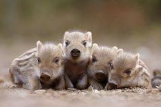 Wild boar family.
