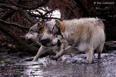 wolves  synchronized dancing by yair_leibovich on 500px