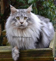 So beautiful! WildCoon Jazz. Silver Classic Tabby. Jazz is a terror, very wicked, full of mischief. A large powerful boy (14kg). Jazz 3 yrs 16/02/15 http://www.mainecoonguide.com/what-is-the-average-maine-coon-lifespan/