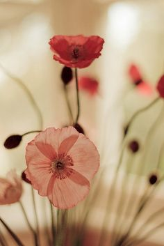 Pink and red poppies. I love the happy pep of poppies; wish they weren't involved in all that opium nonsense. Colorful Roses, Jolie Photo, Pretty Pictures, Mother Nature, Planting Flowers, Flower Arrangements, Beautiful Flowers, Bloom, Plants