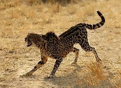 De zeldzame en indrukwekkende King Cheetah.