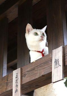 Twitter / nekozamuraiinfo: 【「猫侍」よくある質問まとめ⑤】 Q.ドラマ版DVDは? A.2014年2月5日(水)に豪華映像特典&封入特典付でリリースです。Blu-ray発売はありません #猫侍