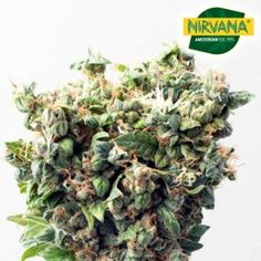 Critical Autoflower by Nirvana Seedbank is easily one of the best marijuana strains around for first-time growers with her hands off approach and incredible seed germination rate. This strain has taken. (Pack of 5 Seeds) Buy Cannabis Seeds, Weed Seeds, Seed Germination, Perfect Plants, Fruit Garden, Types Of Plants, Medical Marijuana, Beautiful Islands, Ganja