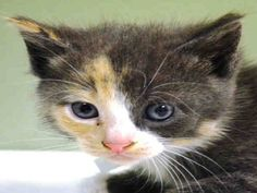 KITTY PULLED BY HUDSON VALLEY ANIMAL RESCUE AND SANCTUARY❤️ - TO BE DESTROYED 10/3/14 ** ADORABLE 5 WEEK OLD KITTEN!! 5 Kittens came in together A1015758, 759, 760, 761, 762 Came without nursing queen Can eat on own- has very good app- Friendly cat, allows restraint ** Manhattan Center My name is ATHENA. My Animal ID # is A1015759. I am a female tortie domestic sh mix. 5 WEEKS old. STRAY