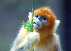 Golden snub nosed monkey by floridapfe, via Flickr