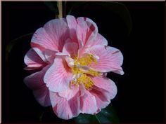 Camellia japonica 'Marie le Ménélec' (France, 1993)