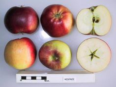 Redfree apple; Medium size, glossy fruit with 90% bright red color. Smooth, waxy, russet-free skin. Light flesh is crisp and juicy. Originates from: United States Introduced: 1981 Developed by: PRI (Purdue, Rutgers, Illinois Co Op A disease resistant summer apple. The scab resistance comes from the incorporation of Malus floribunda, a crab apple. Using      Harvest period: Early season     Use / keeping: 2-3 weeks