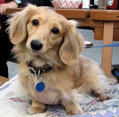Blonde dachshund- long hair