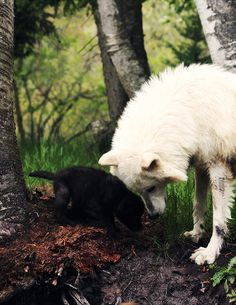 the-absolute-best-photography:  Submitted by earthandanimals:Wolf mom with her pup. You have to follow this blog, it's really awesome!
