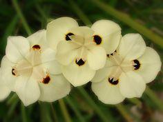 Dietes Bicolor (Iris)