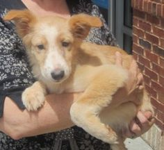 LADDIE is an adoptable Shetland Sheepdog Sheltie Dog in Lawrenceville, GA. Here's Laddie! He is an adorable 5 month old pup who needs a great home. You can apply to adopt by submitting an application via our website at http://www.sohfga.com/