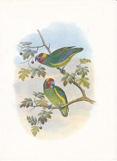 Vintage Bird Print John Gould Fig Parrot by FairlyVintagePrints