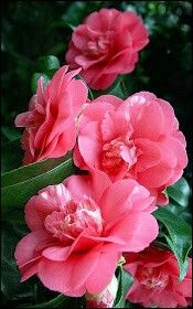 Pink Flowers : Camellia japonica in bloom at Kiel Botanical Garden, Germany - Flowers.tn - Leading Flowers Magazine, Daily Beautiful flowers for all occasions All Flowers, Exotic Flowers, Amazing Flowers, My Flower, Beautiful Flowers, Beautiful Gorgeous, Colorful Roses, Fresh Flowers, Trees To Plant