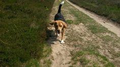 Having fun  #beagle