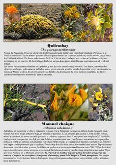 Quilembay Chuquiraga avellanedae Nativa de Argentina. Posee su ubicación desde Neuquén hasta Santa Cruz y también Mendoza....
