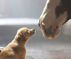 What do you get when you mix a horse, a puppy, and the Super Bowl? Pure puppy love! Watch the adorable commercial featuring a puppy and a Clydesdale