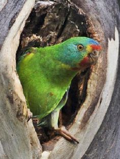 SWIFT parrots are heading for a boom breeding season in Tasmania, with babies hatching in man-made nesting boxes for the first time: Hatch Baby, Hope Is The Thing With Feathers, Birds And The Bees, Australian Birds, Parrot Bird, Nesting Boxes, Bird Pictures, Parrots, Tasmania