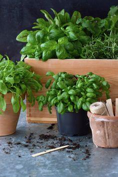 Kanelia ja kardemummaa: Eat your greens! Garden Plants, Planter Pots, Yard, Herbs, Flowers, Gardening, Patio, Lawn And Garden, Herb
