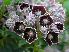 Kalmia latifolia f. fuscata 'Mitternacht' (possibly same as 'Midnight'? Strange Flowers, Unusual Flowers, Kalmia Latifolia, Plant Fungus, Plant Identification, Black And White Flowers, Plant Pictures, Colorful Garden, Trees And Shrubs