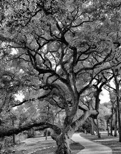Live Oak, Pease Park, Austin, Texas.