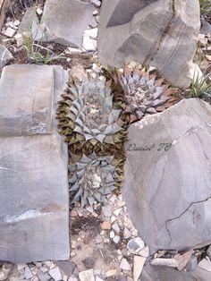 Ariocarpus Retusus var Furfuraceus San Luis Potosi