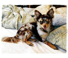 Adorable Chocolate Merle Longhair Chihuahua
