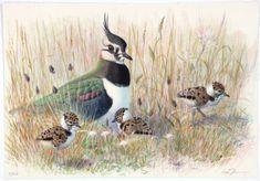Litografier-arkiv - Lars Jonsson Wildlife Art, Bird Prints, Various Artists, Bird Art, Bird Feathers, Beautiful Birds, Flora, Museum, Recherche Google