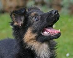 German Shepherd Information - Dog Breeds at NewPetOwners German Shepherd Pictures, German Shepherd Puppies, German Shepherds, Gsd Dog, Gsd Puppies, German Shepherd Information, Tallest Dog, Tibetan Mastiff, Big Animals