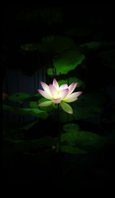 Sometimes a small beam of light in darkness resembles a ray of hope when u are feeling down Water Flowers, Flowers Nature, Water Lilies, Macro Flower, Lotus Flower, Flower Art, Lotus Painting, Lotus Art, Most Beautiful Flowers