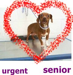 SIRI (A1730438) I am a female brown and white Dachshund. The shelter staff think I am about 7 years old. I was found as a stray and I may be available for adoption on 10/12/2015. — hier: Miami Dade County Animal Services. https://www.facebook.com/urgentdogsofmiami/photos/pb.191859757515102.-2207520000.1444171117./1057353560965713/?type=3&theater