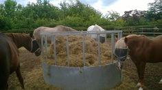 Hay munching
