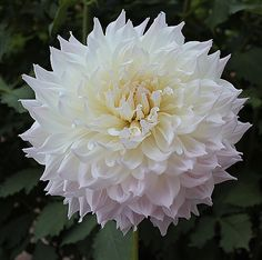 """KA's Cloud:  Height - 5' Blooms - 10"""" plus Size/Form - A Informal Decorative - AA some regions Color - White - w/ slight blush ADS Class - 1101 Introduced - 2015  Best Large new introduction for 2015 in both ADS Trial Garden and Seedling Bench Evaluation Programs. Prolific producer of 9-12 inch blooms all summer."""