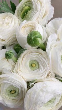 Rose Like Flowers, Flowers For Sale, Burgundy Flowers, Birth Flowers, Flowers Nature, White Flowers, Beautiful Flowers, Ranunculus Wedding Bouquet, Ranunculus Flowers