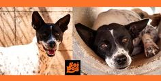 My name is Football. PLEASE ADOPT ME!  E-mail deb@soidog.org to adopt me!  I was left to die in a cold, damp drain when I was just a few days old, but because of Soi Dog supporters like you, I was saved.  I am a girl of over 5 half years old and I have been at Soi Dog, Phuket, Thailand for virtually all my life. http://www.soidog.org/en/adoptions/football/