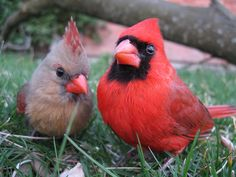 Cardinal couple in the grass