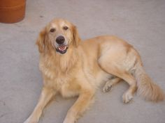 This is Casey - 6 yrs. She was an owner surrender. She is spayed, current on vaccinations,potty trained, has good house manners, knows a couple of commands, good with kids over age 5 yrs. Needs to be the only pet in the house. She needs leash work and socialization training with other dogs. Southern California Golden Retriever Rescue. http://scgrrescue.org/dogs/meet-casey-2/#sthash.04BL4Y0e.dpbs