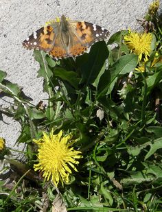 Painted Lady Butterfly enjoying Easter Brunch from a dandelion! This photo was taken Easter Day 2017 in the Rev. The Rev, Easter Brunch, Woman Painting, Habitats, Dandelion, Wildlife, Butterfly, Community, Lady