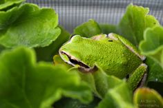 Tiny Frog Among the Geraniums. Read about Rodrigo the Frog and his adventure in the flowers.