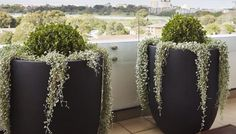 Topiary Buxus Balls, cascading Dichondra silver falls