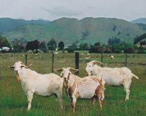 #goatvet likes this New Zealand goat webpage