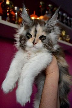 Want to see more Maine Coon Photos? Click the photo for more! Want to see more Maine Coon Photos? Click the photo for more! Cute Cats And Kittens, Cool Cats, Kittens Cutest, Cute Baby Animals, Animals And Pets, Funny Animals, Easy Animals, Pretty Cats, Beautiful Cats