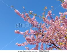 Pink cherry blossoms and green leaf on blue sky.